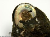 Minerál AMONIT s perletí